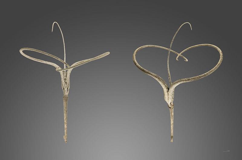 Proboscidea althaeifolia seme
